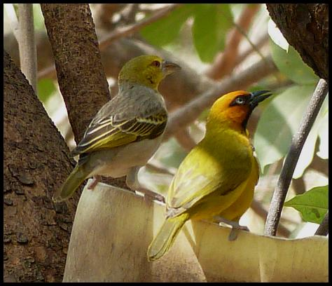 gam-village-black-necked-weaver