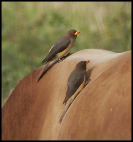 gam-yellow-billed-oxpeckers