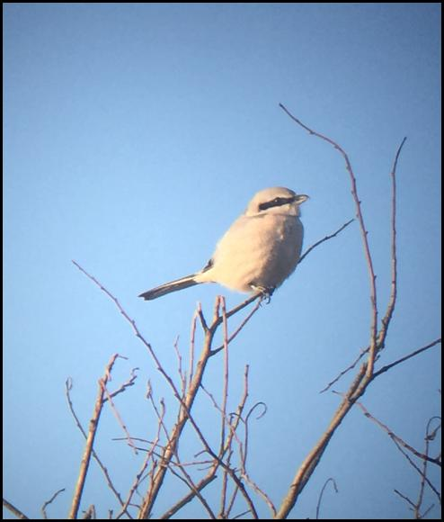great-grey-shrike-071116