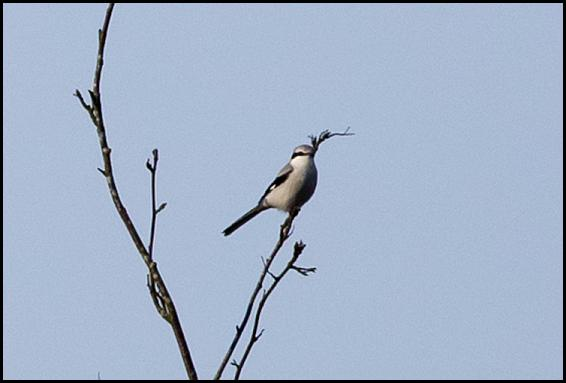 great-grey-shrike-1-1811116