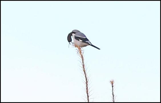 great-grey-shrike-2-1811116