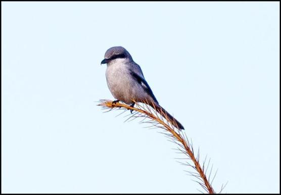 great-grey-shrike-3-1811116