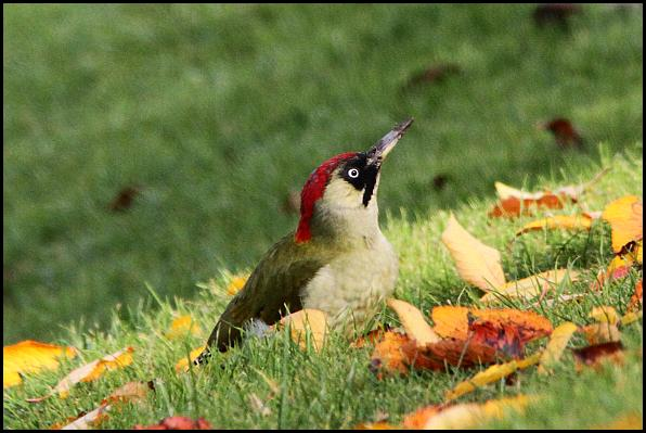 green-woodpecker-031116