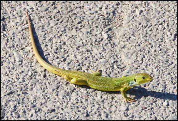 lv-balkan-green-lizard