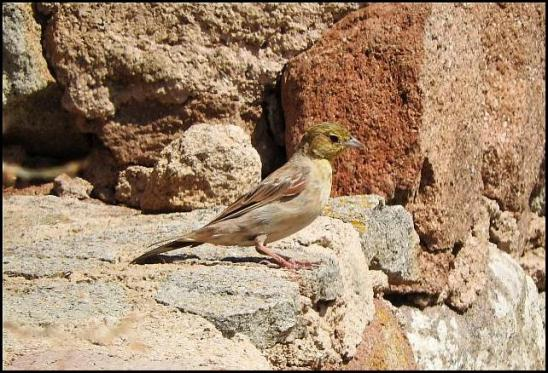 lv-cinereous-bunting
