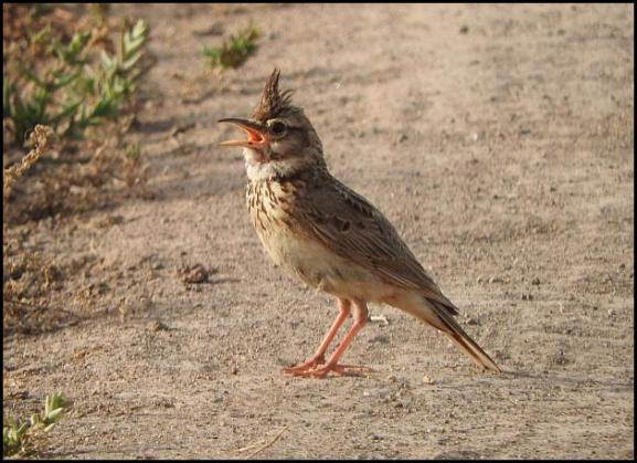 lv-crested-lark