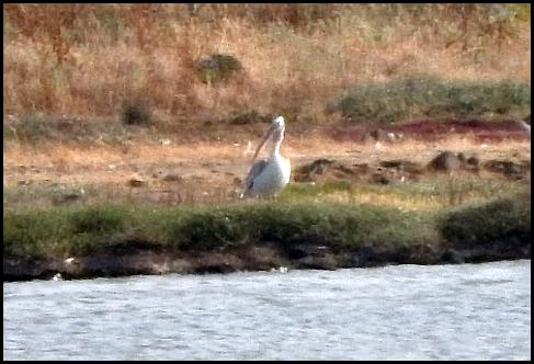 lv-dalmatian-pelican