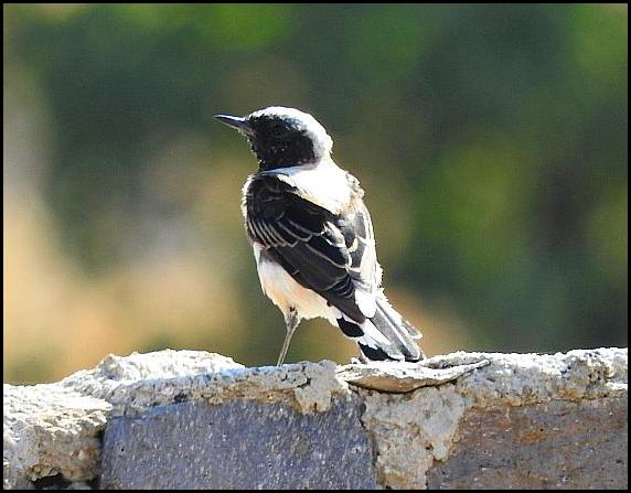 lv-e-be-wheatear