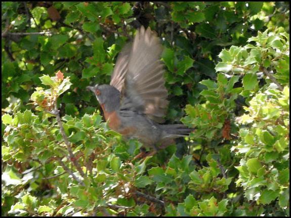 lv-e-subalpine-warbler