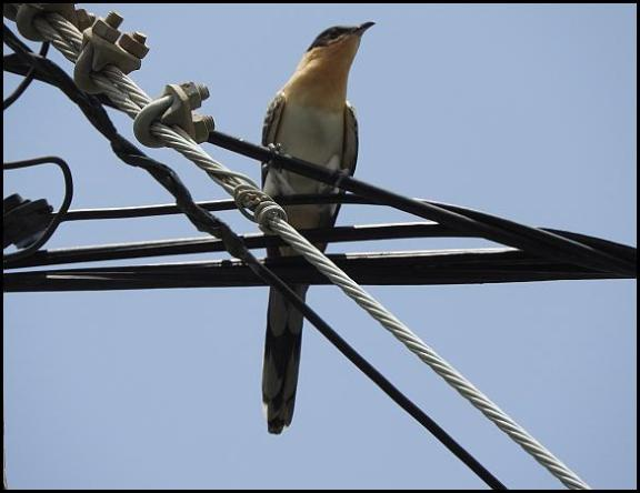 lv-gs-cuckoo-1