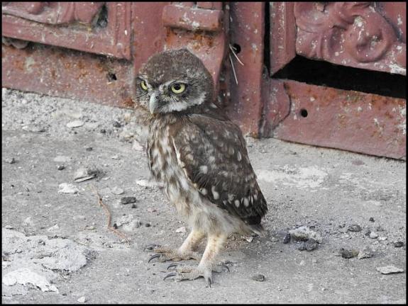 lv-little-owl
