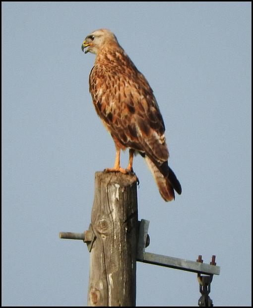 lv-long-legged-buzzard