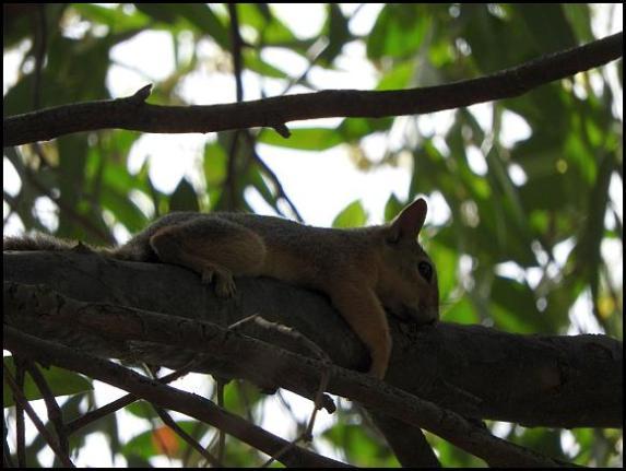 lv-persian-squirrel