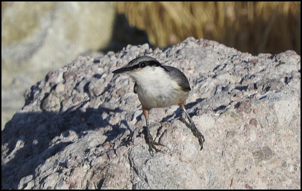 lv-rock-nuthatch