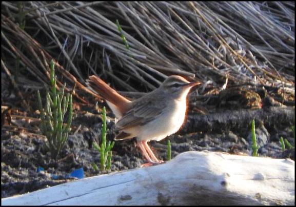 lv-rufous-tailed-scrub-robin