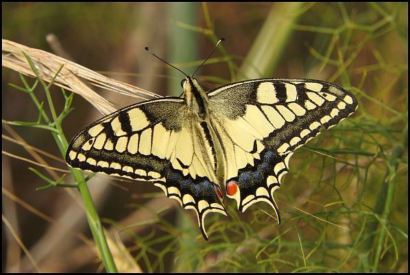 lv-swallowtail