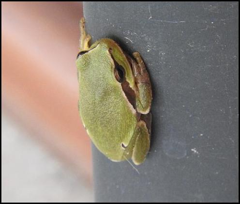 lv-tree-frog