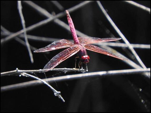 lv-violet-dropwing