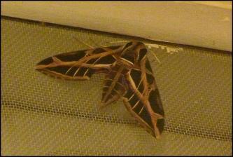 mx-moth1