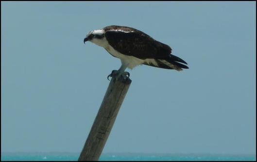mx-osprey