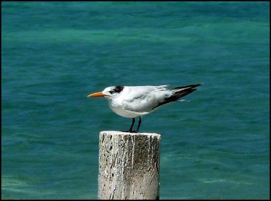 mx-royal-tern