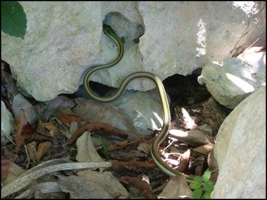 mx-snake