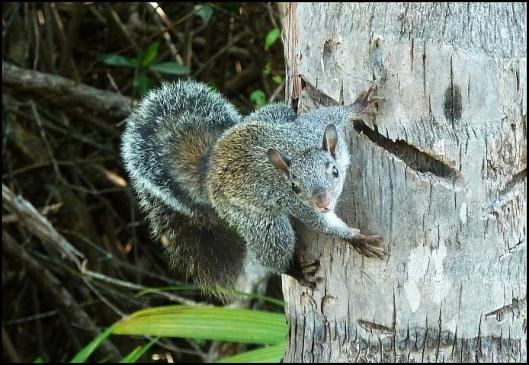 mx-yucatan-squirrel
