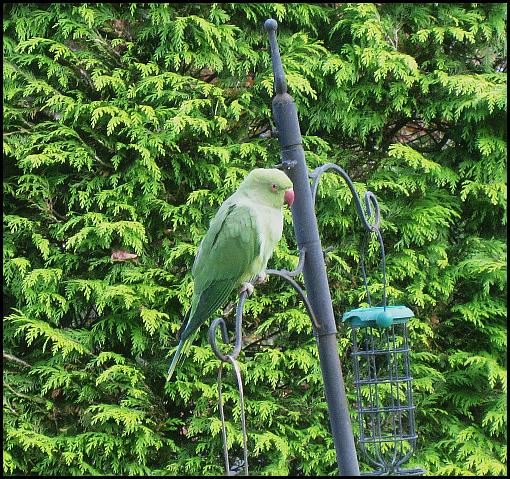 ring-necked-parakeet-041116