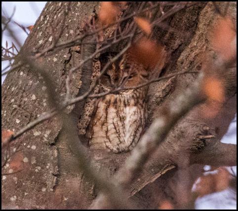 tawny-owl-301116