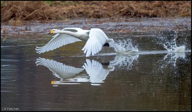 whooper-swan-221116