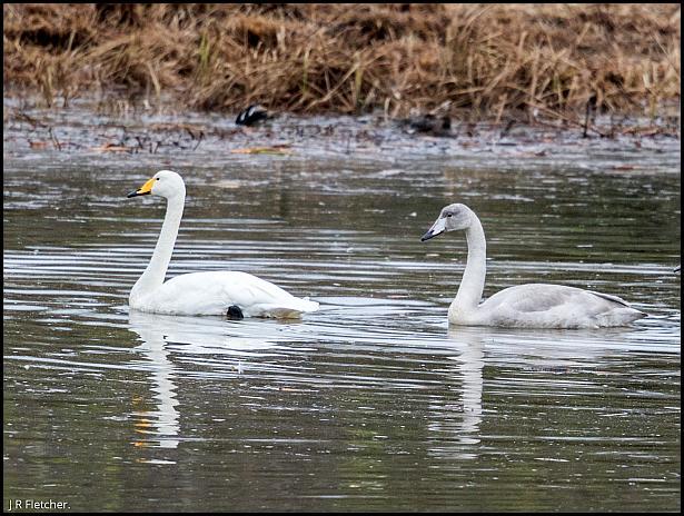 whooper-swans-221116