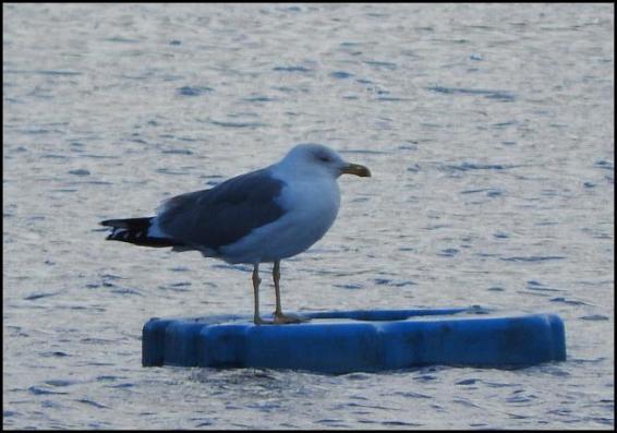 yellow-legged-gull-191116