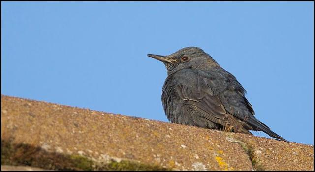 blue-rock-thrush-4-281216