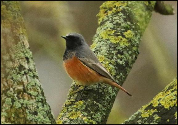 eastern-black-redstart-2-111216