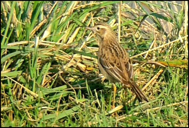 richards-pipit-281216