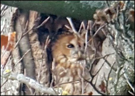 tawny-owls-041216