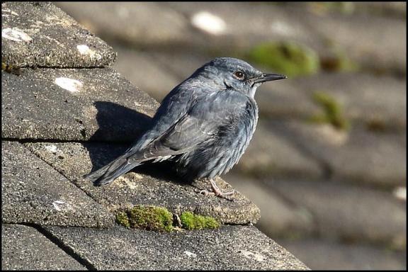 blue-rock-thrush-1-020117