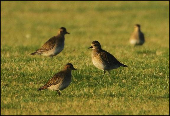 golden-plovers-220117