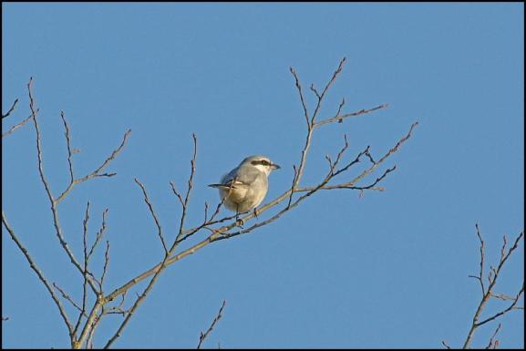 great-grey-shrike-210117