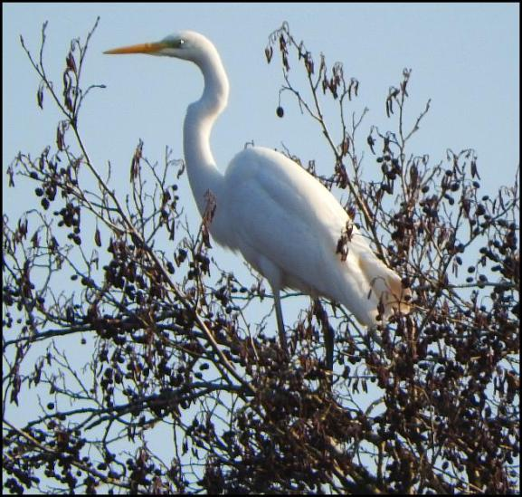 great-white-egret-210117