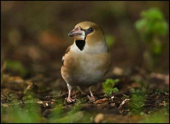hawfinch-190117