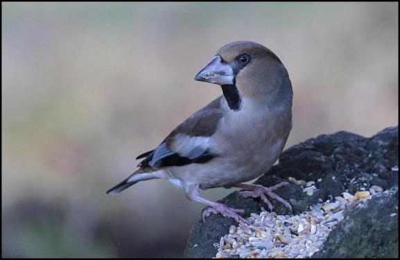 hawfinch-200117