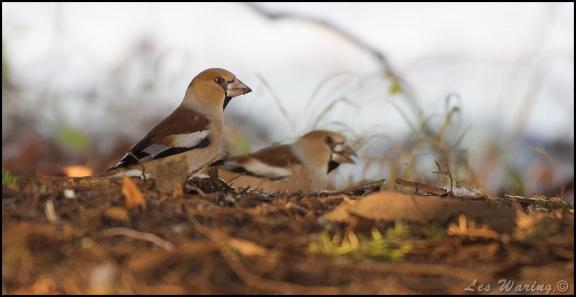 hawfinches-210117