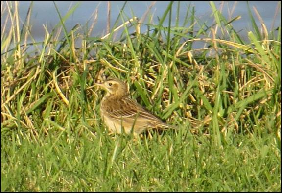 richards-pipit-050117