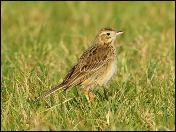 richards-pipit-1-250117