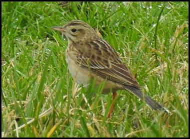 richards-pipit-180117