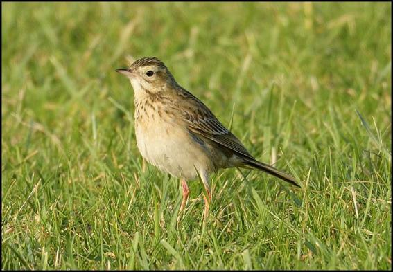 richards-pipit-2-250117