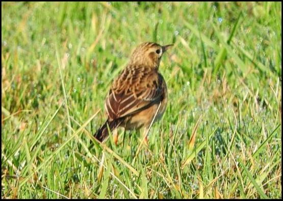 richards-pipit-200117