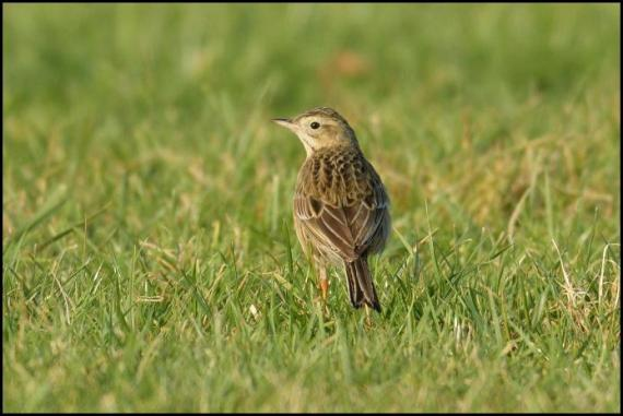 richards-pipit-3-250117
