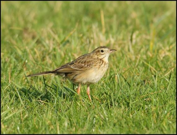 richards-pipit-4-250117